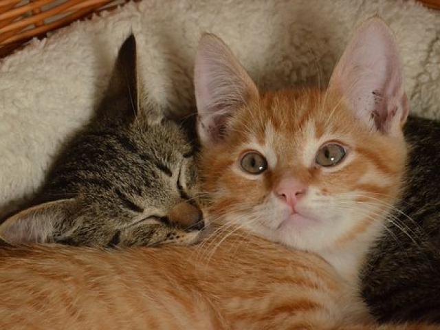 שני חתולים משחקים
