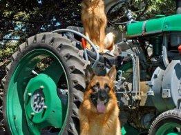 כלבים על טרקטור בפנסיון בתל אביב