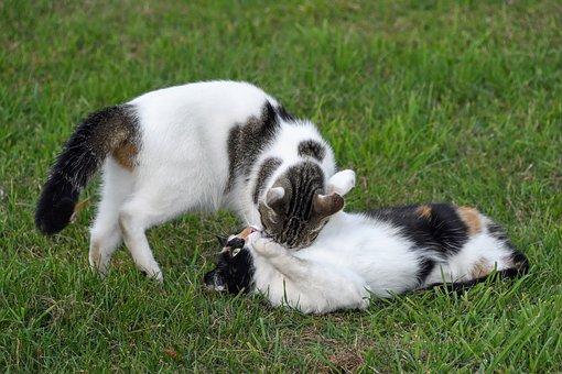 שני חתולים משחקים על דשא הפנסיון