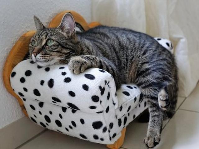 חתול נח כל הספה