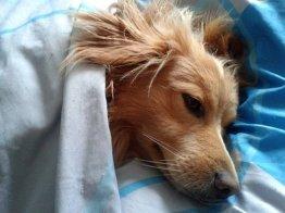 כלב ישן במיטה