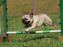 כלב מתאמן בקורס אילוף