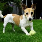 כלב משחק עם כדור בפנסיון