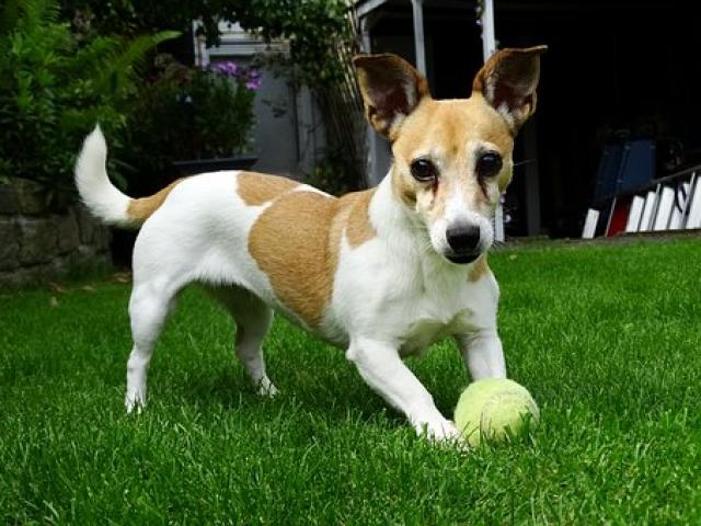 כלב רודף אחרי כדור בדשא
