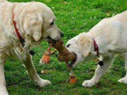 שני כלבים משחקים בפנסיון