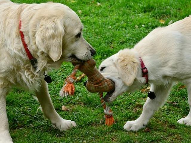 שני כלבים משחקים