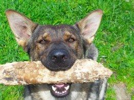 כלב עם בול עץ בפה
