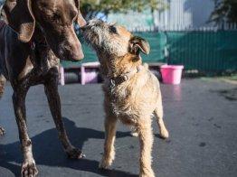 שני כלבים משחקים בחצר הפנסיון